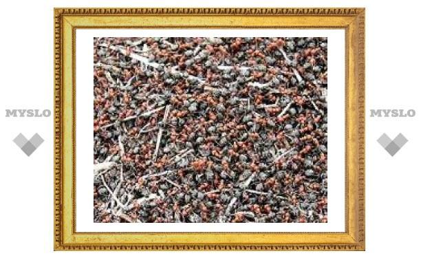 """Ученые используют муравьев для борьбы с """"пробками"""""""