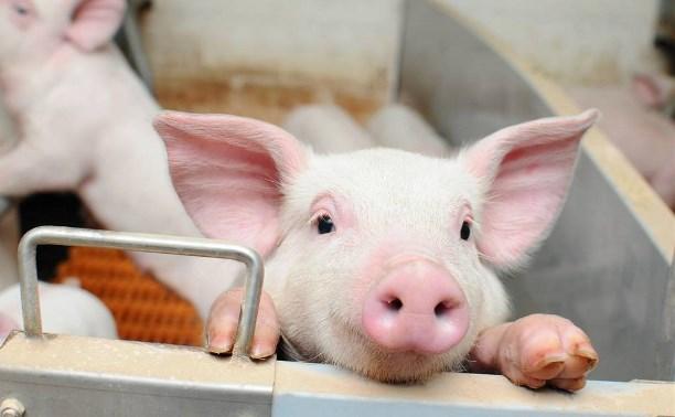 В Тульской области заводчиков свиней предлагают на семь лет освободить от налогов