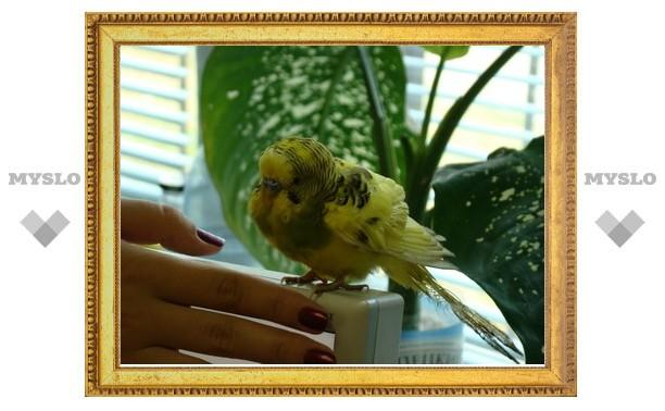 Тулячка нашла потерявшегося попугая