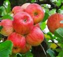 В Белевском районе шесть человек обворовывали яблоневые сады