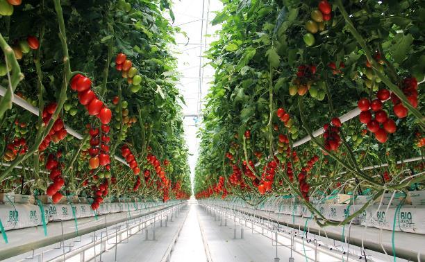 Почему томаты нельзя хранить в холодильнике и чем тепличные овощи лучше дачных