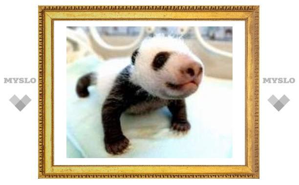 Предком гигантской панды был карликовый медведь