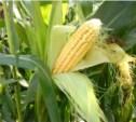 Двое мужчин похитили три тонны кукурузы на поле в Черни