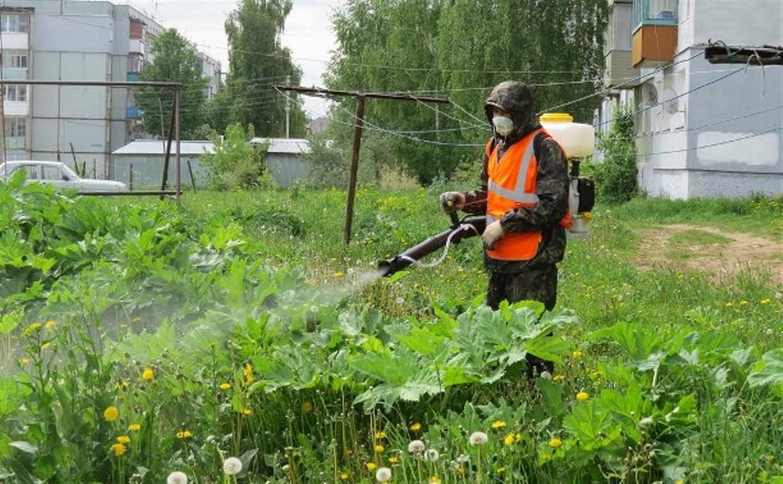 В Туле повторно травят борщевик