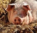 Комитет по ветеринарии прокомментировал вспышку африканской чумы свиней в Тульской области
