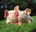 В Тульской области построят свинокомплекс на 450 000 голов
