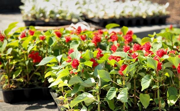 Ко Дню Победы в Туле высадят около 250 тысяч цветов