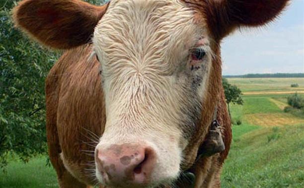 Рязанец украл новомосковского бычка прямо с луга