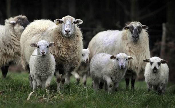 В Чернском районе двое похитителей овец предстанут перед судом