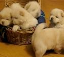 В Привокзальном районе похищено более десяти щенков, ценности и деньги