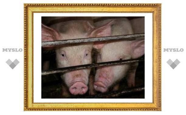 Грозит ли тульским свиньям афиканская чума?
