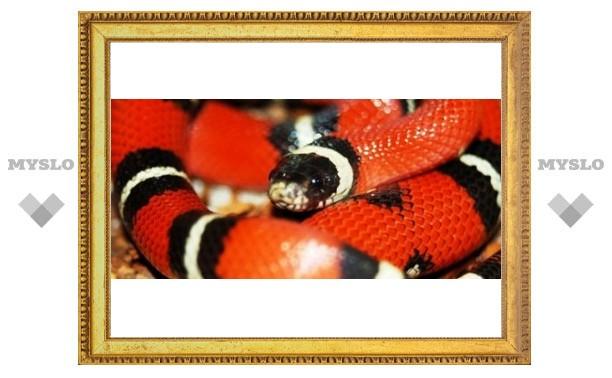 Тулякам покажут змею Киркорова