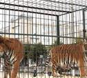 Тигры в городе!