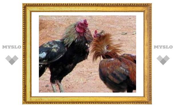 Тулякам показали петушиные бои