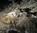 Скрываясь от погони, туляк-браконьер выкинул из машины убитых животных