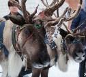 В Тулу снова приедут северные олени