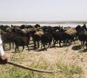 Разбазарил стадо: Под Тулой задержали мигранта, находящегося в розыске в Средней Азии