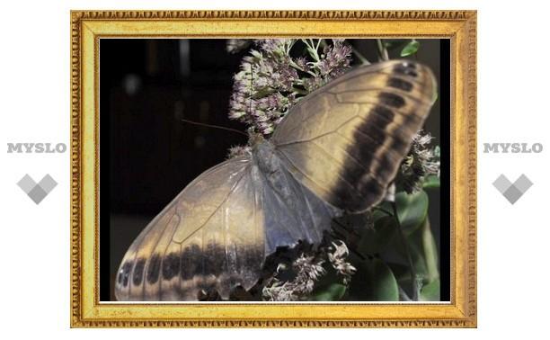 В Тулу слетятся тропические бабочки