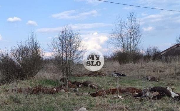 150 мертвых коров: в Тульской области зафиксирован массовый падеж скота