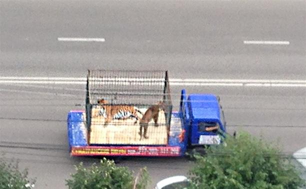 По улицам Тулы ездят тигры