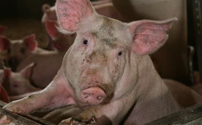 В «Лазаревском» обнаружена африканская чума свиней