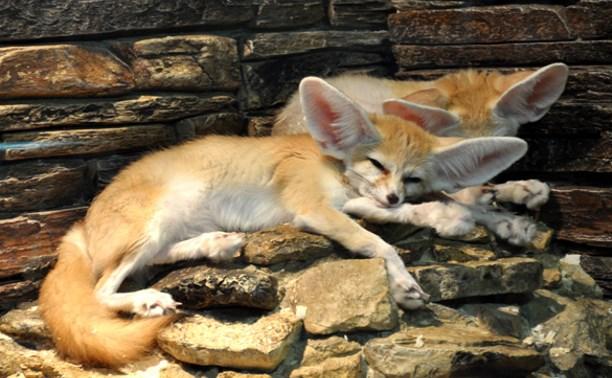 В Тульском экзотариуме в сентябре посетителей очаровали пустынные лисицы фенеки