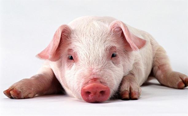 В регионе объявлен карантин из-за африканской чумы свиней
