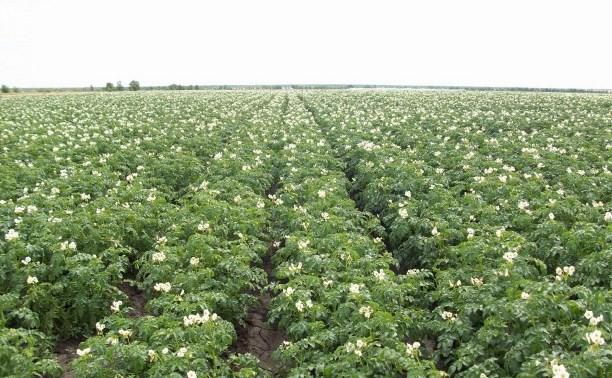 В Венёвском районе пройдет День картофельного поля