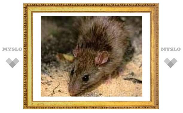 Грозит ли Туле эпидемия лептоспироза?