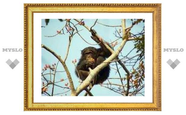 Сенегальские шимпанзе начали охотиться с копьями