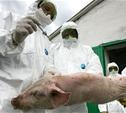 Для подавления очага африканской чумы свиней в область приехали специалисты со всей России