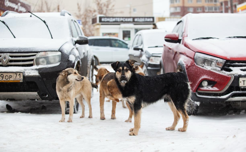 Бродячие собаки в Туле: куда пожаловаться и что происходит с ними после отлова