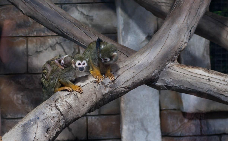 В Тульском экзотариуме у семьи беличьих обезьян саймири появился малыш