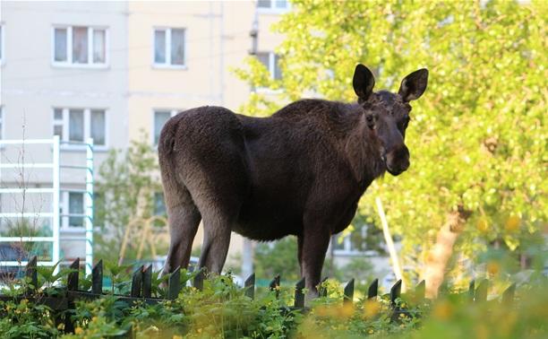 Полиция надеется, что лось убежал в лес