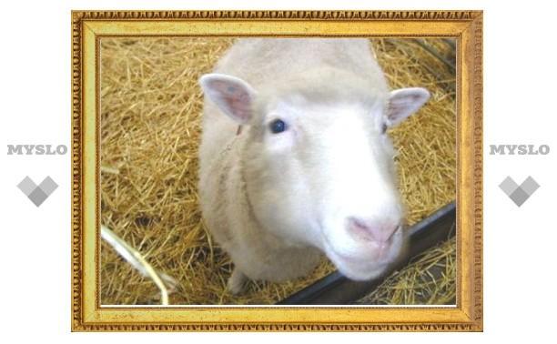 Житель Тульской области покаялся в краже овцы