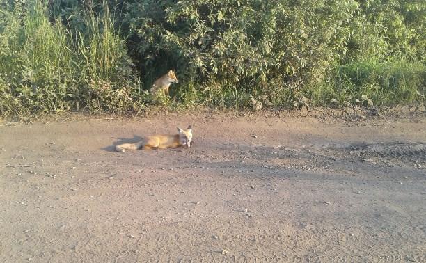 В Новомосковске лисы выпрашивают еду у местных жителей