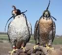 Туляков приглашают на фестиваль соколиной охоты