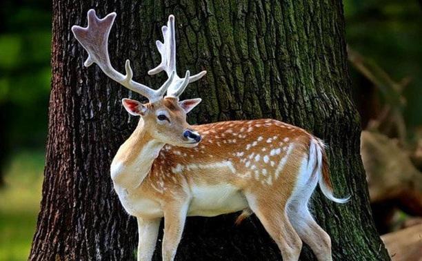 В тульских лесах будут разводить пятнистых оленей