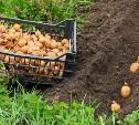 Россиянам запретили сажать картошку?