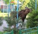 Лося отвели в лес за Чулковским кладбищем
