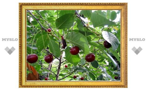 Сбор вишни закончился для туляка серьезными травмами