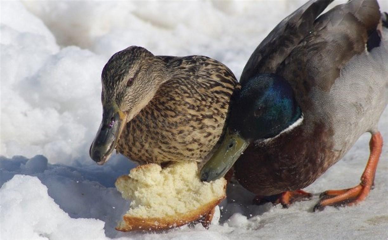 В Туле посчитают зимующих водоплавающих птиц