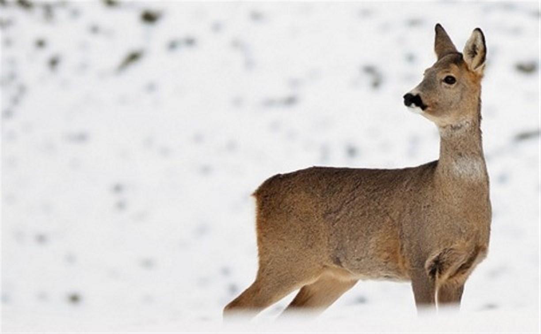 В Чернском районе браконьер гонялся за косулей на «Ниве», пытаясь задавить её