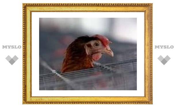 Домашнюю птицу привьют от гриппа