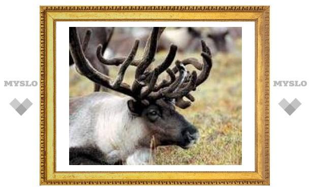 В Тулу привезут северного оленя