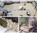 Монгольские песчанки, иглистые мыши: в Тульском экзотариуме родилось 10 малышей