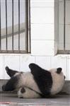 Как панды хотели сбежать из зоопарка, Фото: 1