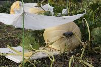 Гигантские тыквы из урожая семьи Колтыковых, Фото: 5