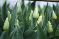 Тюльпаны , Фото: 15