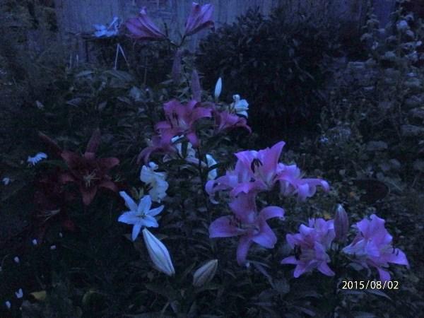 Ночью все кошки черные, а вот все лилии ночью синие.